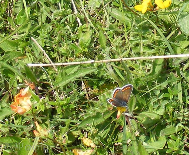 brown argus,Aricia agestis,butterfly