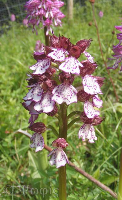 lady orchid,Orchis purpurea,orchid