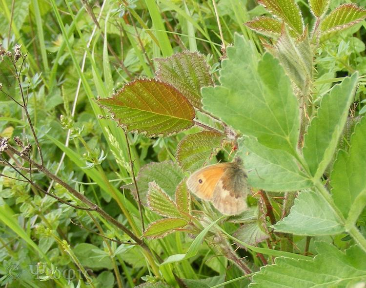 small heath butterfly,Coenonympha pamphilus,butterflpicframe