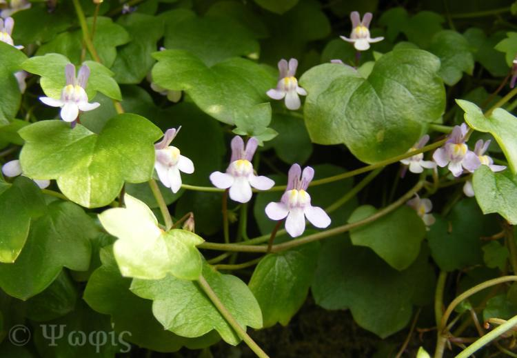toadflax,ivy-leaved toadflax,Cymbalaria muralis
