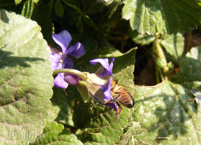 Dog violet,bee