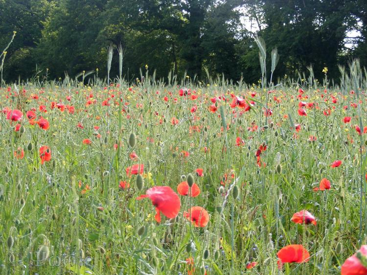 wild flower meadow,poppy