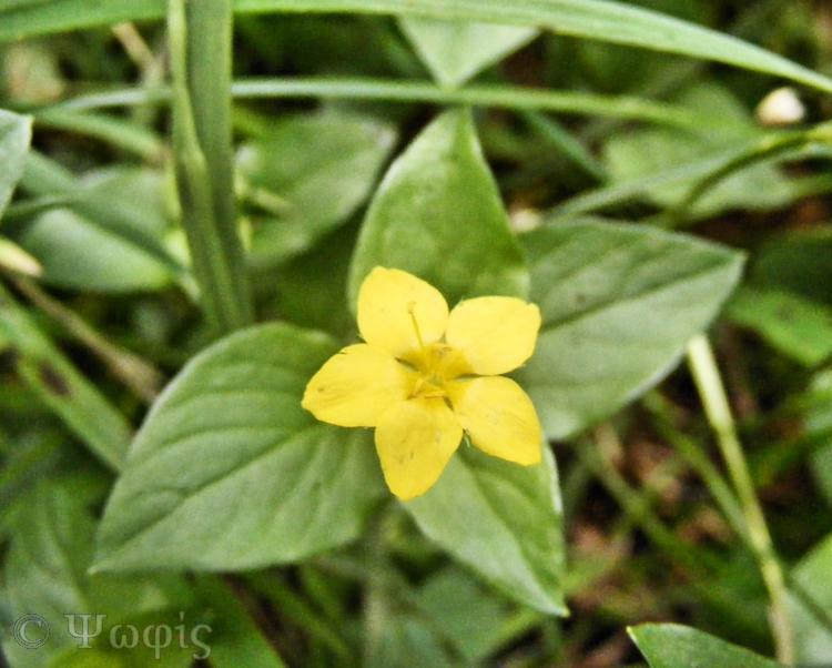 yellow pimpernell