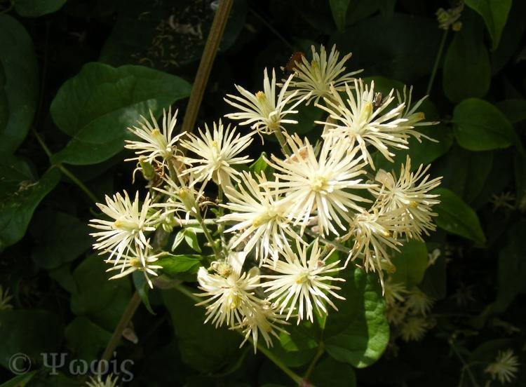 clematis,old man's beard
