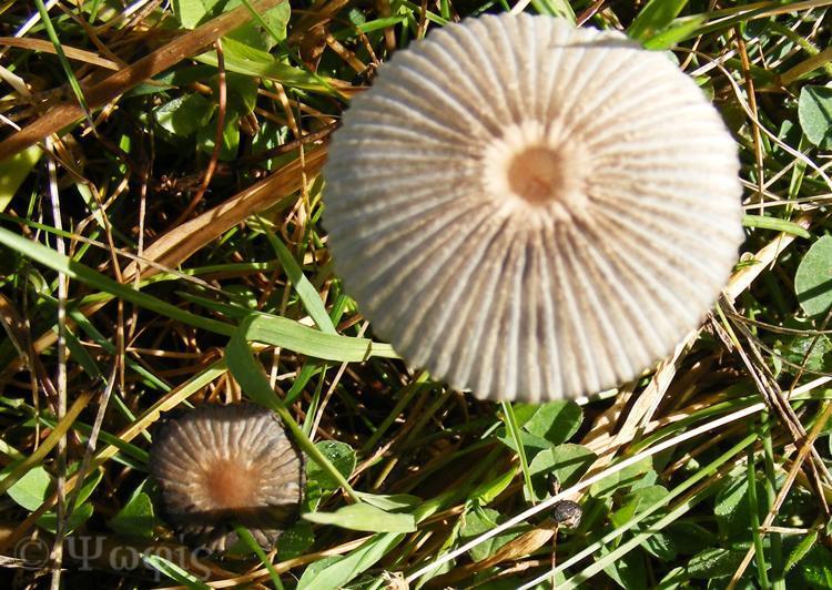 fungi,mycena