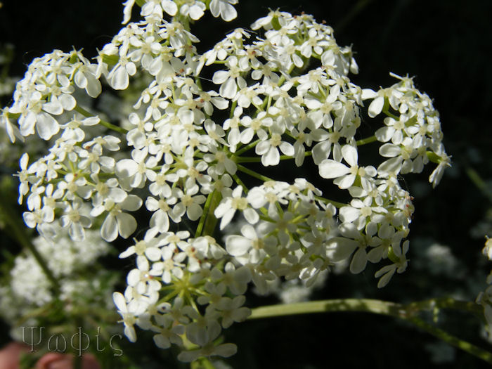 cow parsley ,Anthriscus sylvestris