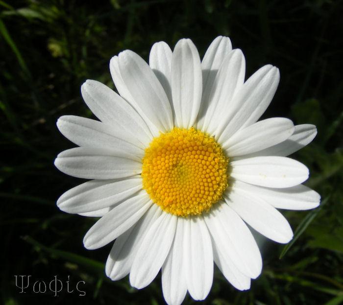 ox eye daisy,Leucanthemum vulgare,Hippocrepis comosa