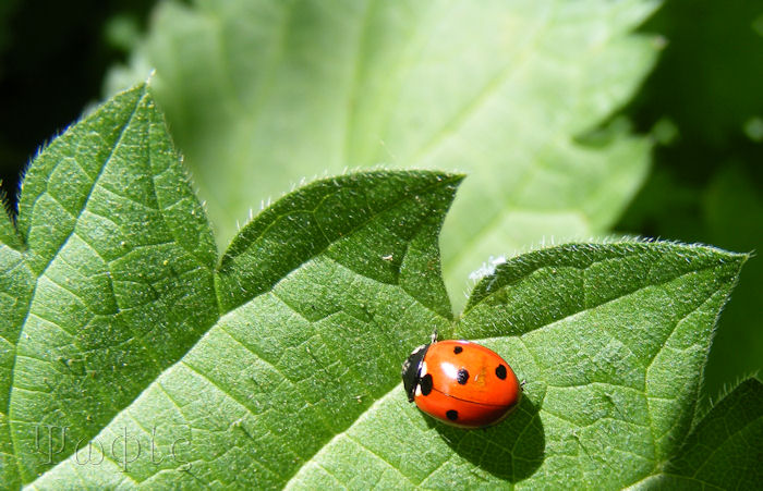 seven spot ladybird,Coccinella 7-punctata