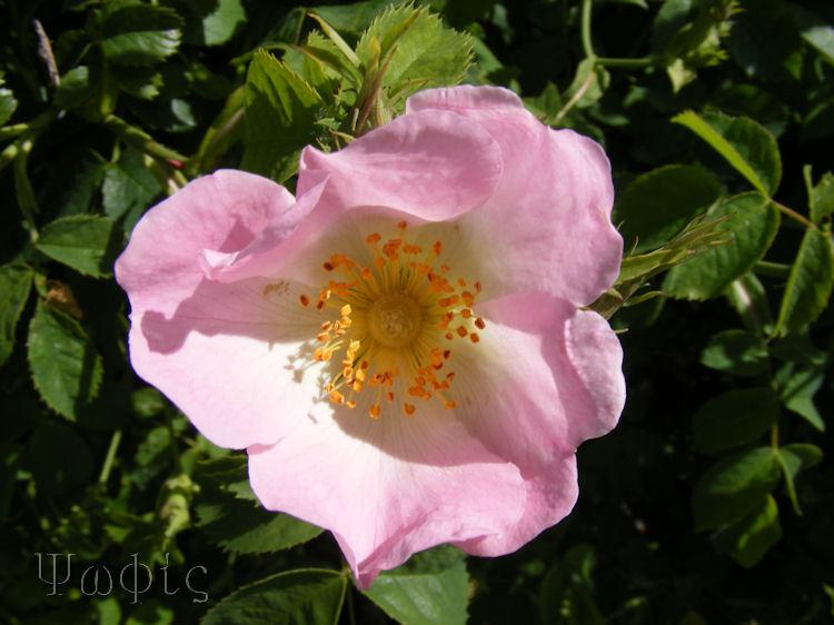 Dog rose,Rosa canina