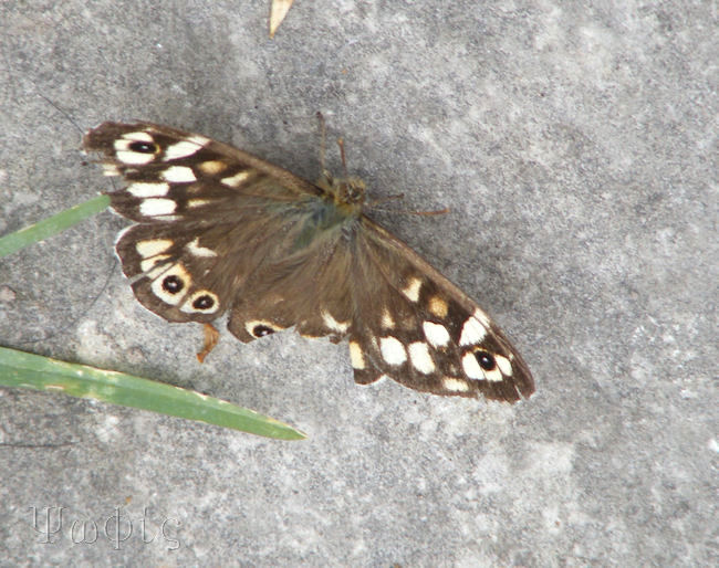 Speckled Wood butterflay,Pararge aegeria