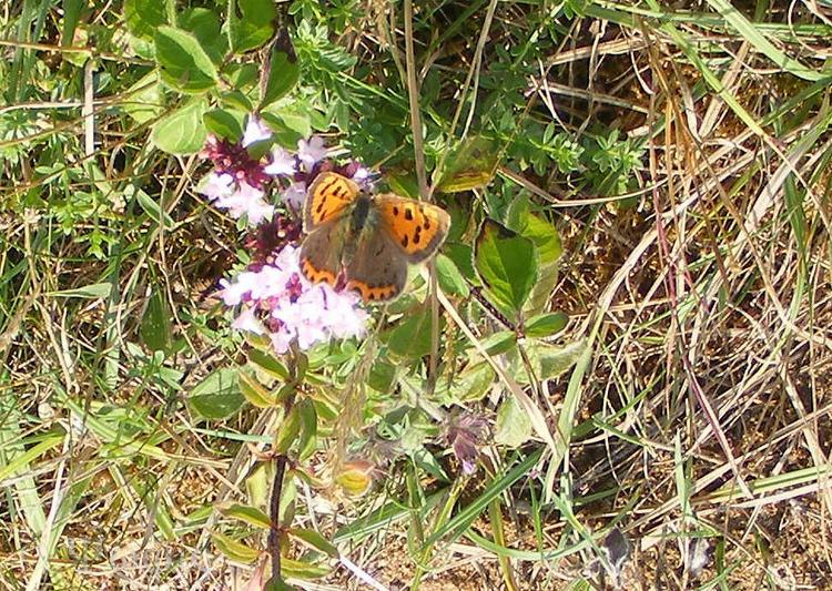 Small Copper,butterfly