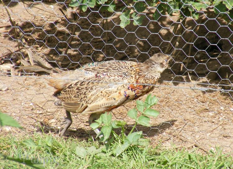 young male pheasant