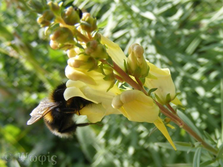 toadflax,bee