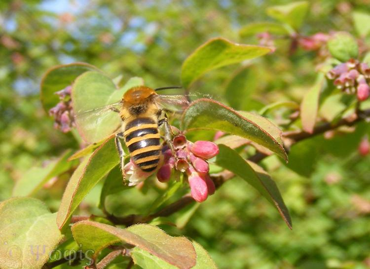 Ivy bee,snowberry,Colletes hederae
