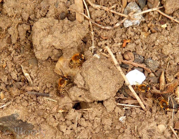 Ivy bee,burrow,Colletes hederae