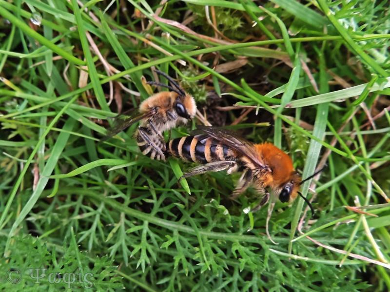 Ivy bee,Colletes hederae