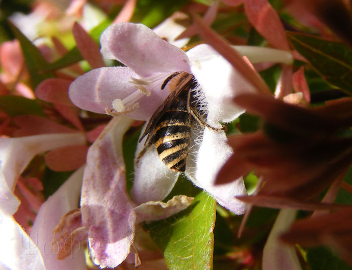 Ivy bee,Abelia grandiflora