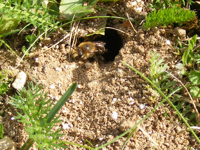 Ivy bee,Colletes hederae,burrow