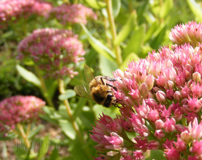 Ivy bee,Sedum spectabile