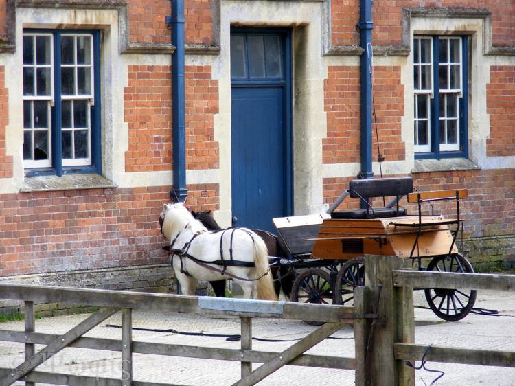 shetland ponies,trap