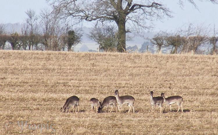 fallow deer,deer