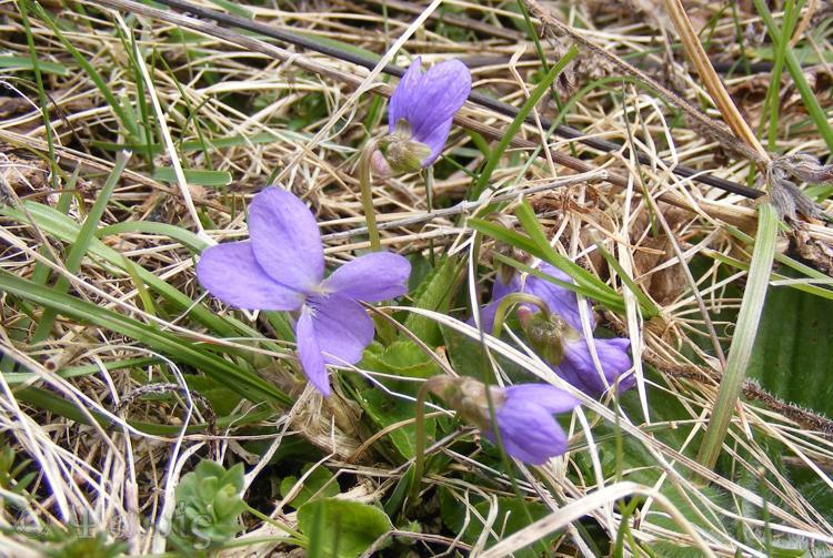 Hairy Viola,Viola hirsuta