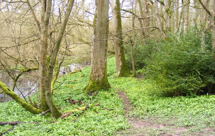 Churn Wood,wild garlic