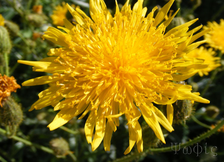 Marsh Hawk's-beard,Crepis Paludosa