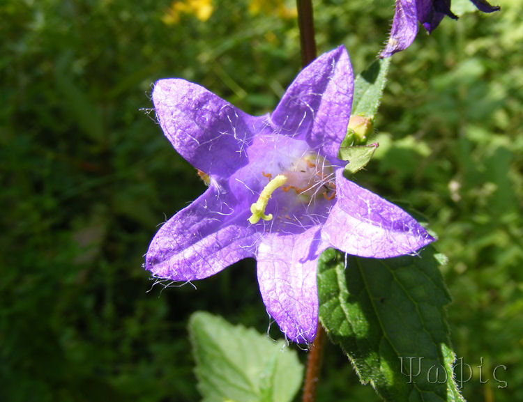 marlow,bellflower