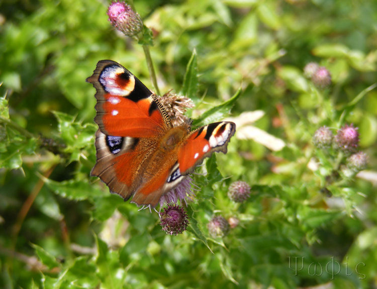 peacock butterfly,Inachis io