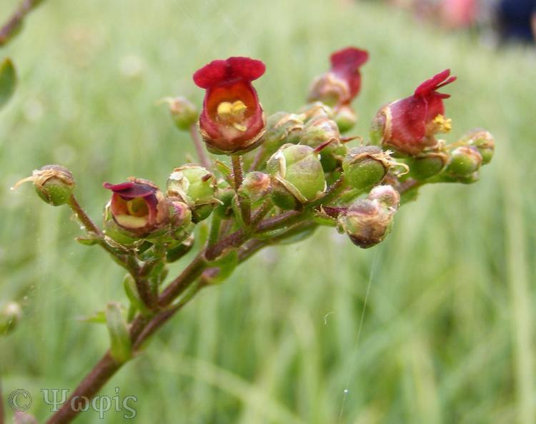 Figwort,Scrophularia nodosa