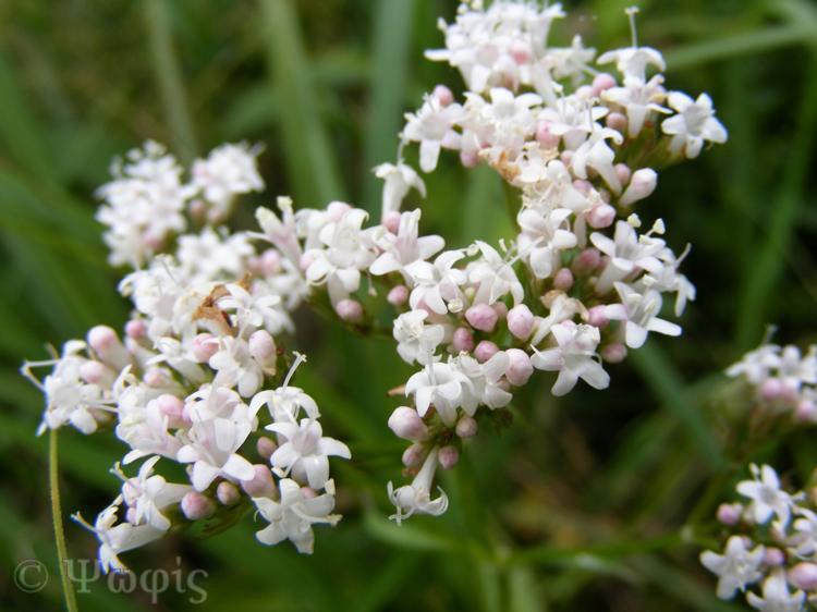 Marsh Valerian,Valeriana dioica