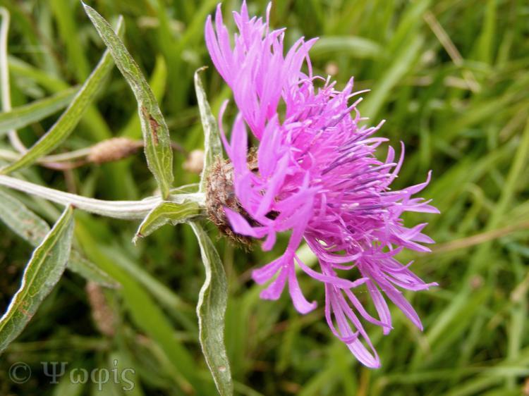 Slender Knapweed,Centaurea nemoralis