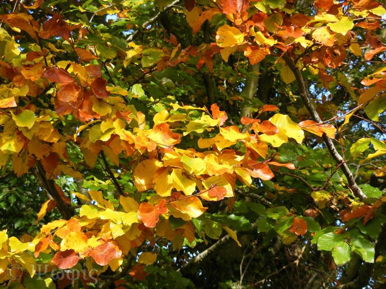 autumn,beech leaves