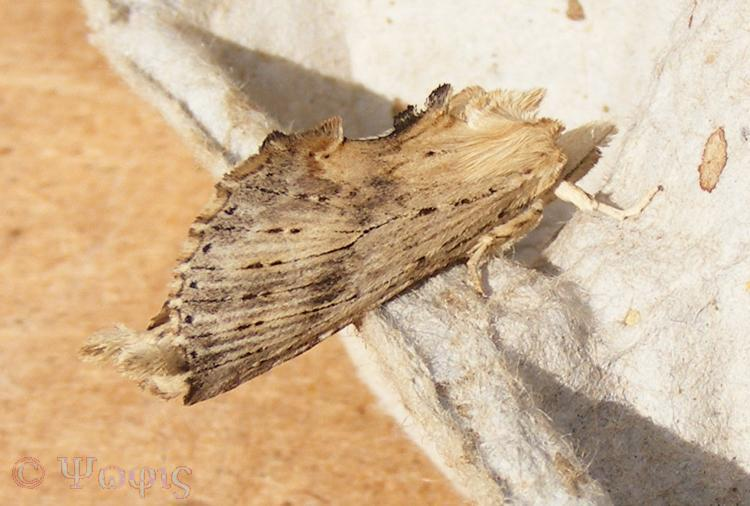 moth,pale prominent