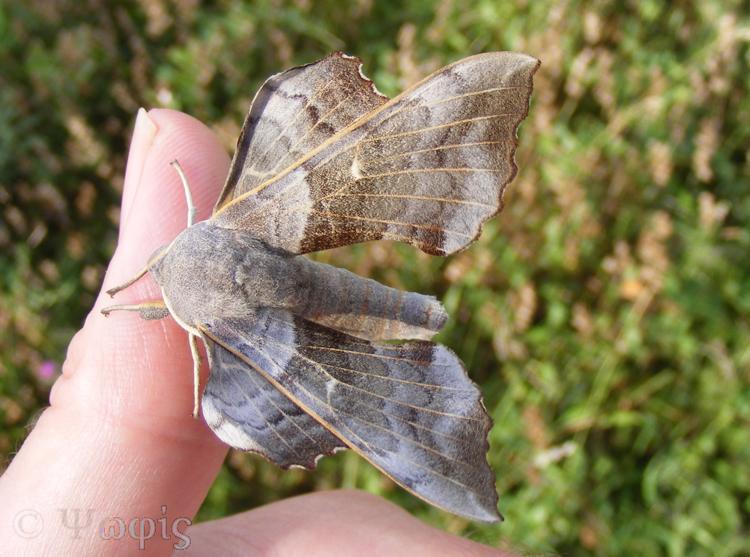 moth, poplar hawk moth