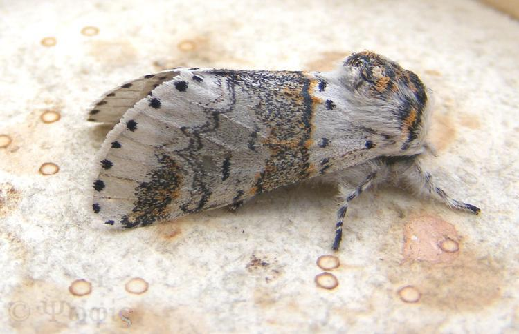 moth,sallow kitten moth