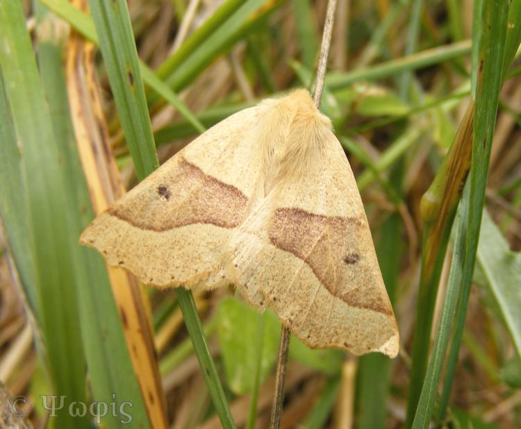 moth,Scalloped Oak