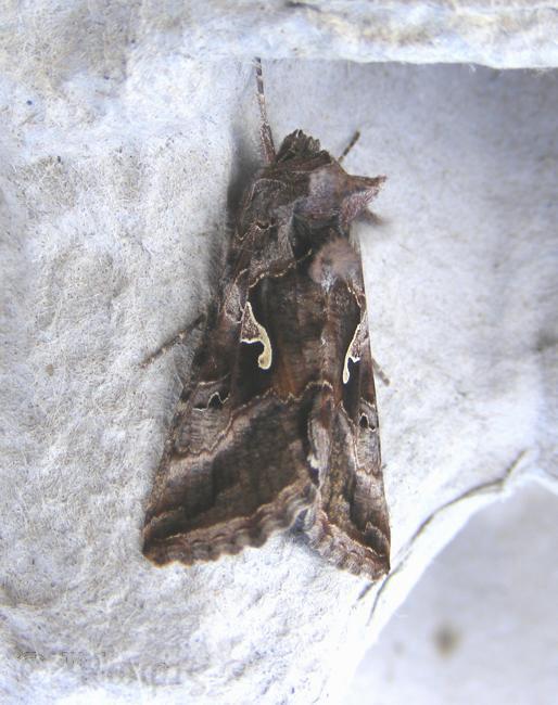 moth,Silver Y moth