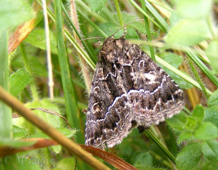 moth,Straw Underwing