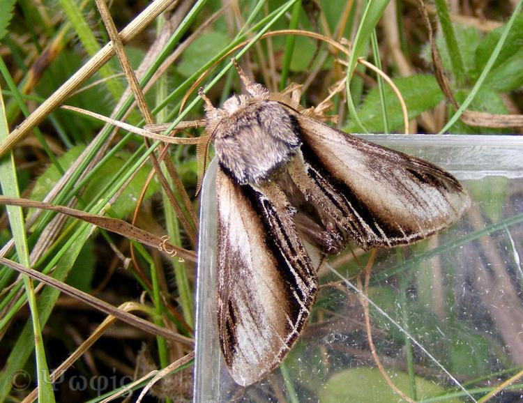 moth,Swallow Prominent