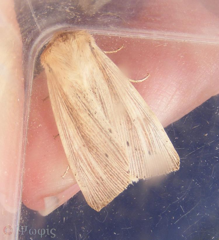 moth,wainscot