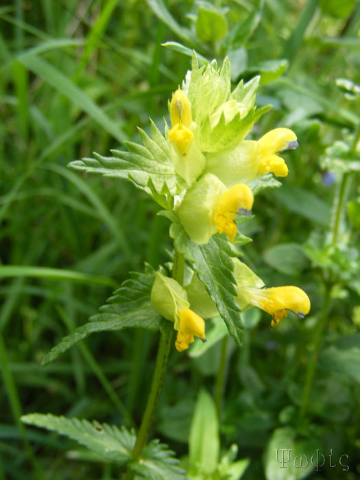 yellow rattle,Rhinanthus minor