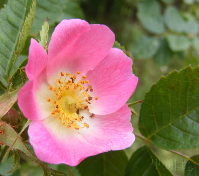 dog rose,Rosa Canina