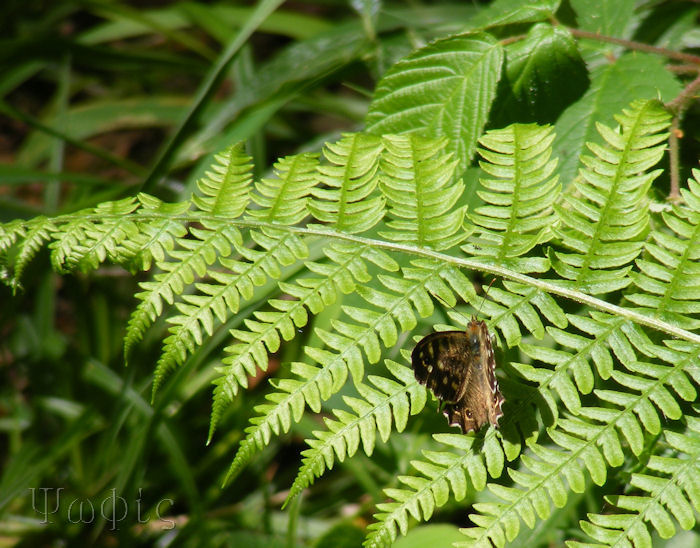 Speckled Wood,Pararge aegeria
