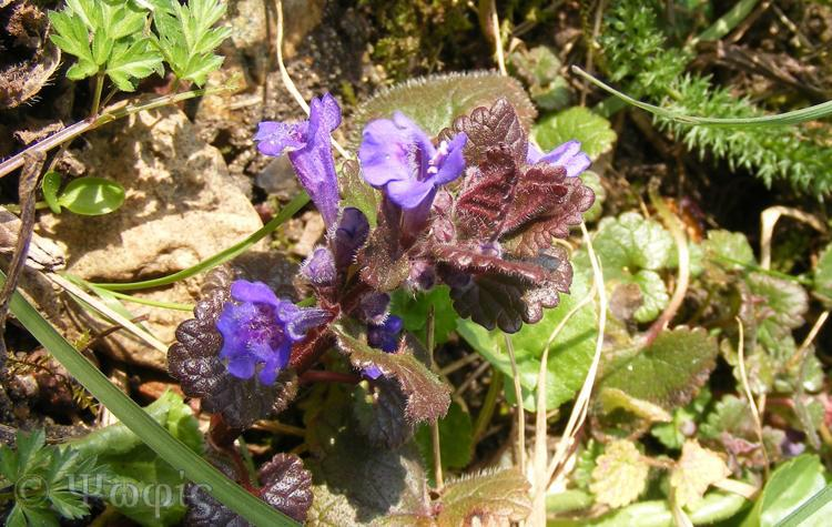 Ground Ivy,Glechoma hederacea