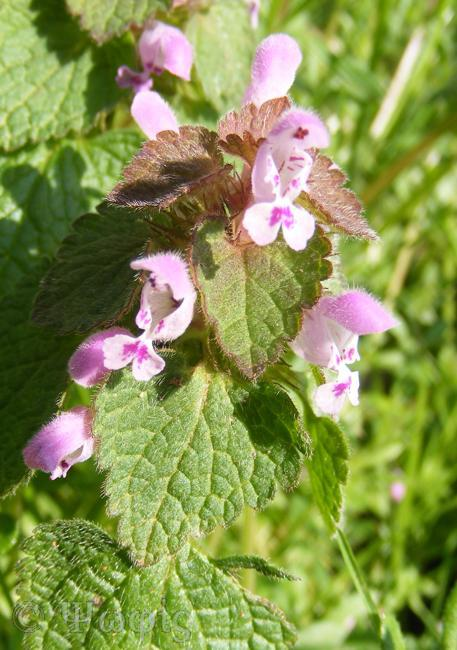 red dead nettle,Lamium purpureum