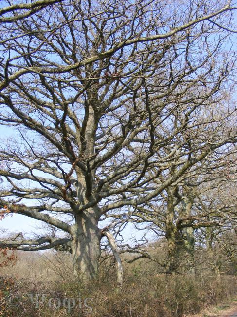 notable oak