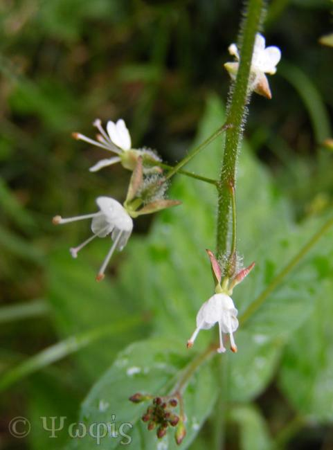 Enchanter's Nightshade,Circaea lutetiana