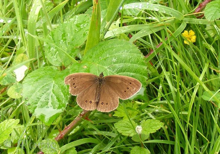 Ringlet Butterfly,Aphantopus hyperantus